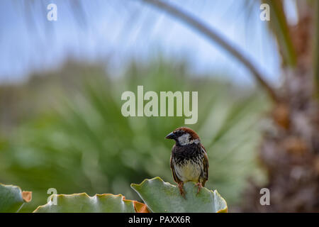 Male spanish sparrow (Passer hispaniolensis) perched on the leaf of a green succulent in Porto Santo, Portugal - Stock Photo