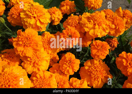 Bright orange French marigold, Tagetes patula, flowers in an English garden border