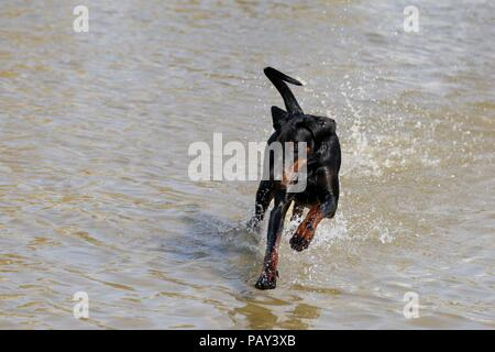 a dog running in the sea on a hot summer day - Stock Photo