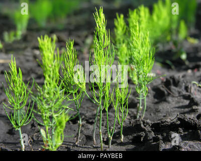 close-up of young green organically cultivated asparagus plants in the vegetable garden - Stock Photo