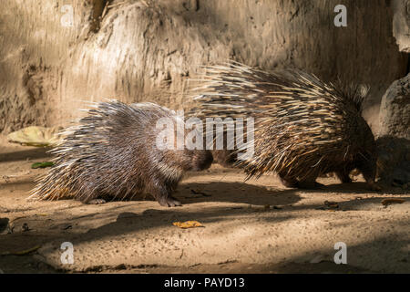 malayan porcupine, himalayan porcupine or large porcupine - Stock Photo