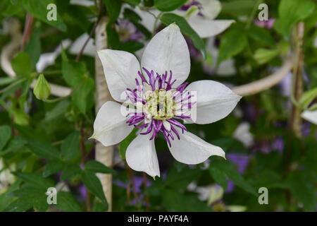 Clematis Florida Sieboldii in flower - Stock Photo