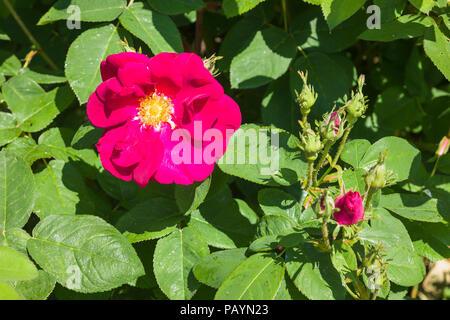 Rosa James Mason flowering in June in an English garden - Stock Photo