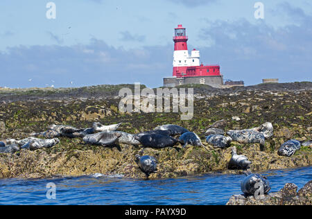 Seals basking on rocks near Longstone lighthouse Farne Islands Nortumberland UK - Stock Photo
