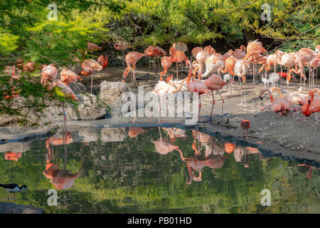 Flock of African Lesser flamingos ( Phoeniconaias minor ) in a natural setting at Avifauna Bird Zoo, Alphen aan den Rijn, The Netherlands. - Stock Photo
