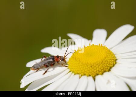 Soldier Beetle, Cantharis rustica feeding on Ox eye Daiisy, Leucanthemum vulgare flower, Wales, UK - Stock Photo