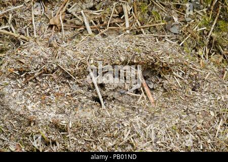 Exposed nest of Black Garden Ant, Lasius niger, workers gathering eggs and pupae, Wales, UK. - Stock Photo
