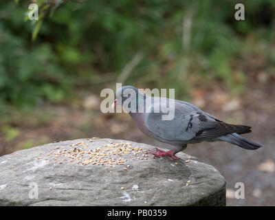 Stock Dove, Columba oenas, single adult standing on staddle stone with grain, Worcestershire, UK. - Stock Photo