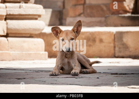 Indian stray dog with big ears laying in temple India - Stock Photo