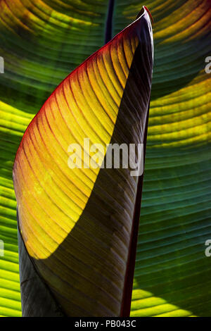 Sunlight shining through illuminating the leaves of a banana plant. - Stock Photo