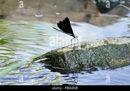 Ebony jewelwing flexing its beautiful iridious metalic green-blue colors on rock by stream in Toronto Botanical Gardens, Ontario, Canada - Stock Photo