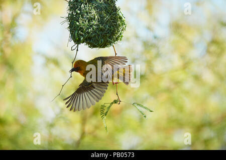 Cape Weaver bird in Camel Thorn tree - Stock Photo