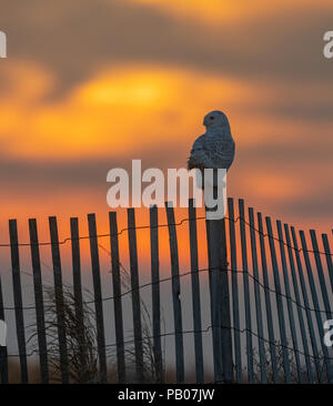 Snowy Owl on a wooden post - Stock Photo