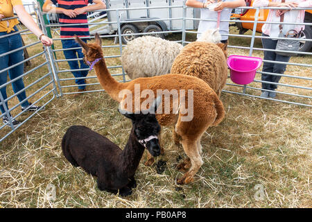 Four Alpacas in a Pen on Display at Nantwich Agricultural Show Cheshire England United Kingdom UK