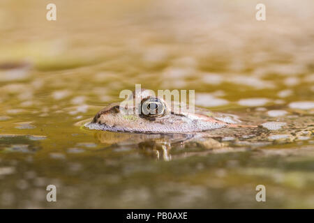Common Frog - Stock Photo