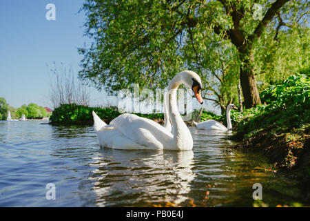 white grace swanon Alster lake on a sunny day in Hamburg - Stock Photo
