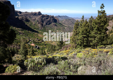 View from the path to the Roque Nublo on blooming vegetation and Canary Island pines (Pinus canariensis), behind Ayacata - Stock Photo