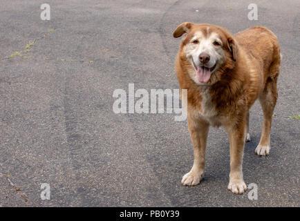 Senior dog saying hello - Stock Photo