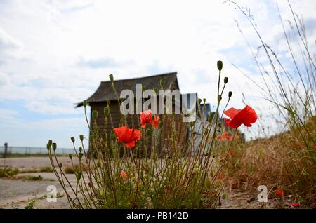 Common wild red poppies in sand dune with beach chalets in backgound, Lincolnshire, England, UK. - Stock Photo