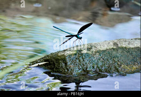Ebony jewelwing flexing its beautiful iridious metallic green-blue colors on rock by stream in natural habitat in Toronto Ontario, Canada - Stock Photo