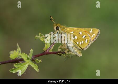 Silver spotted skipper butterfly (Hesperia comma) resting on a shrub in chalk downland habitat, UK - Stock Photo