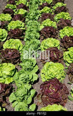 An assortment of lettuce growing in an English kitchen garden - John Gollop - Stock Photo
