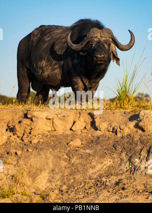 Buffalo in Chobe National Park in Botswana, Africa - Stock Photo