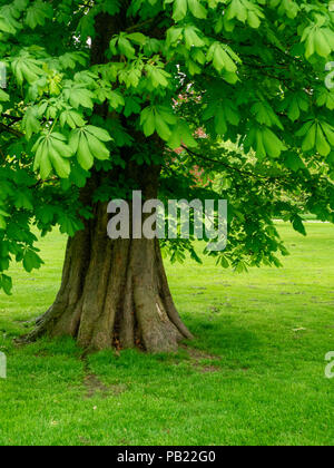 Horse Chestnut Tree, Aesculus hippocastanum, in spring with green leaves. - Stock Photo