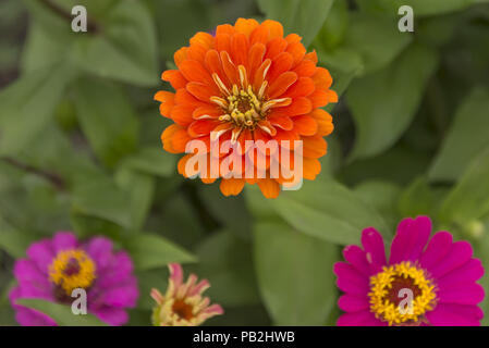 flowers zinnia in summer in Sunny weather, close-up - Stock Photo