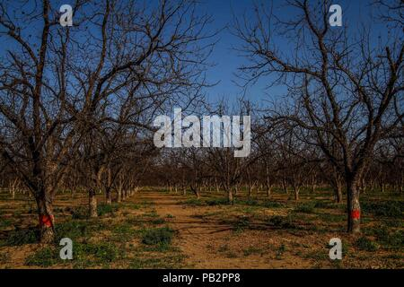 Walnut trees. Walnut tree. Field of walnut trees.cultivation field on the coast of Hermosillo. Tree without leaves. Autumn. October - Stock Photo