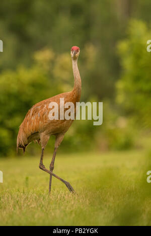 A sandill crane (Antigone canadensis) walks across a field in southern Wisconsin. Protection from the migratory bird act has restored numbers of crane. - Stock Photo