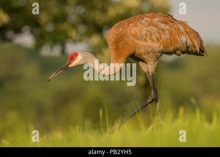 A sandill crane (Antigone canadensis) walks across a field in southern Wisconsin. Protection from the migratory bird act has restored numbers of crane - Stock Photo