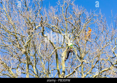 TAURANGA, NEW ZEALAND - 2 JULY 2018; Two tree doctors in high vis vests high in leafless London Plane tree supported by safety ropes trimming branches - Stock Photo