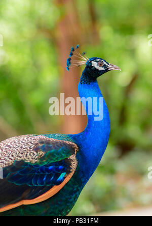 Beautiful of peacock in forest, Thailand - Stock Photo