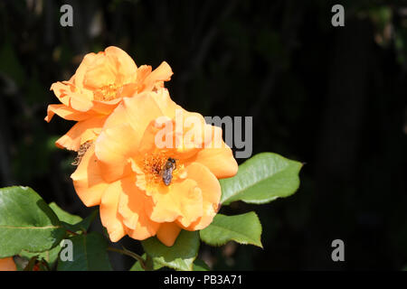 London , UK. 26th July 2018. UK Weather: Yellow flowers in Hype park, London, UK. July 26 2018. Credit: Picture Capital/Alamy Live News - Stock Photo