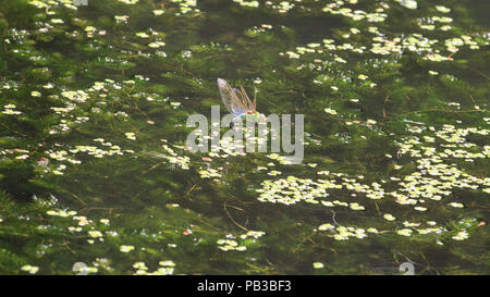 London, UK, 26th July 2018. A male Emperor Dragonfly, also called blue emperor (Anax imperator), with distinctive blue abdomen, buzzes around in the afternoon sunshine over water and green algea on a canal in London.. Credit: Imageplotter News and Sports/Alamy Live News - Stock Photo