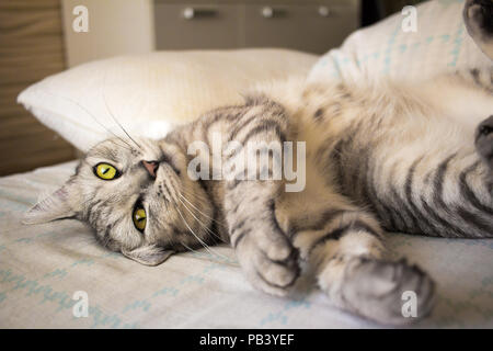 Grey cute tabby cat lying on bed - Stock Photo