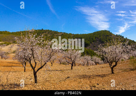 Prunus dulcis, Almond grove in the Andalucia mountain landscape Spain, February 2018 - Stock Photo