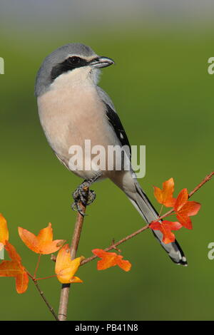 Great grey shrike (Lanius meridionalis) perched on a branch of Montpellier maple (Acer monspessulanum). Sierra de Grazalema Natural Park. southern Spain. December. - Stock Photo