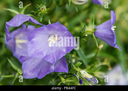 A fairy bellflower (Campanula persicifolia) - Stock Photo