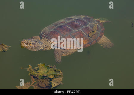 snapping turtle, Chelydra serpentina, Maryland - Stock Photo