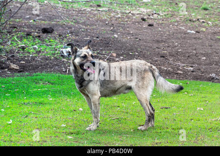 Stray dog stands and poses - Stock Photo