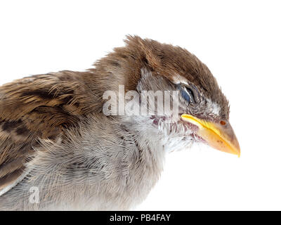 A dead sparrow, sadly killed by my pet cat. On white background. Young bird, just a fledgeling. Closeup head detail. - Stock Photo