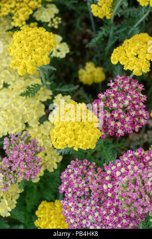 Achillea 'Little moonshine'. Achillea millefolium 'Little moonshine'. Yarrow Flowers - Stock Photo