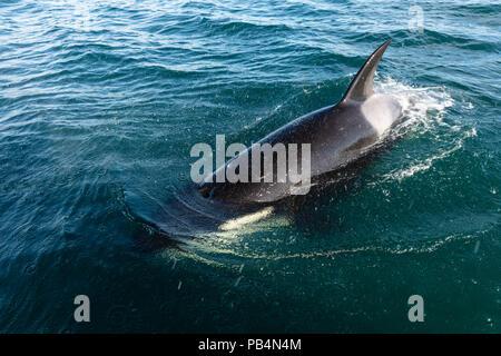 Orca surfaces near boat in Southeast Alaska. - Stock Photo