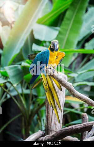 Great blue-yellow macaw sitting on the branch. - Stock Photo
