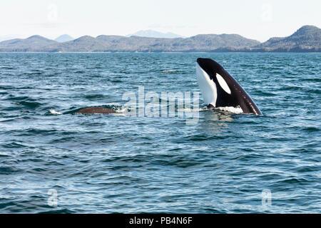 Orca spy hopping boat in Favorite Channel in Southeast Alaska. - Stock Photo