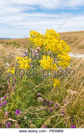 Common Ragwort (AKA Senecio jacobaea, Jacobaea vulgaris, Stinking willie, Benyon's delight) in a field in the countryside in Summer in West Sussex, UK. - Stock Photo
