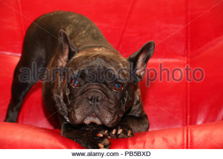 French Bulldog Portrait Red Background studio - Stock Photo