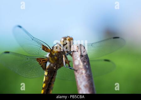 Libelle an einem Stab - Stock Photo